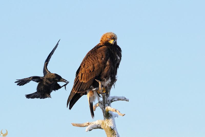Golden Eagle & Raven