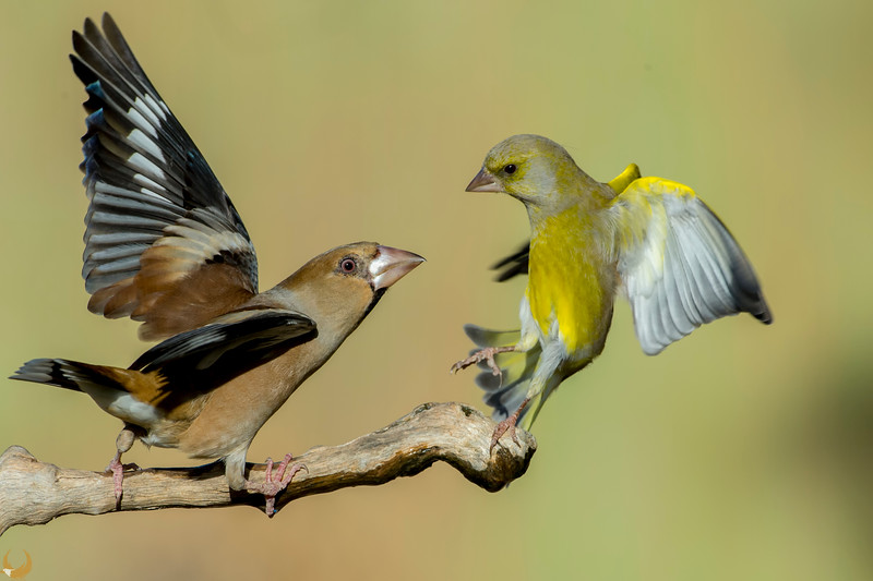 Hawfinch & Greenfinch