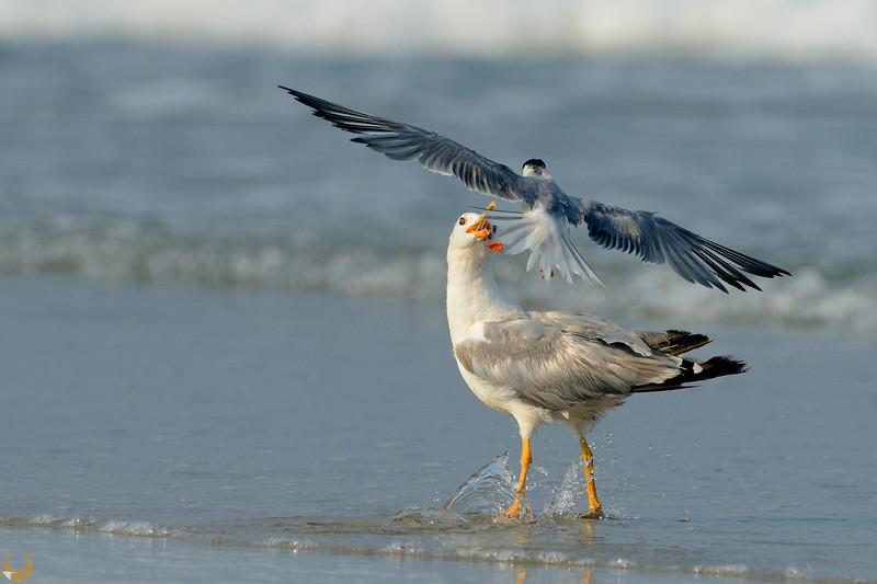 Gull & Common Tern