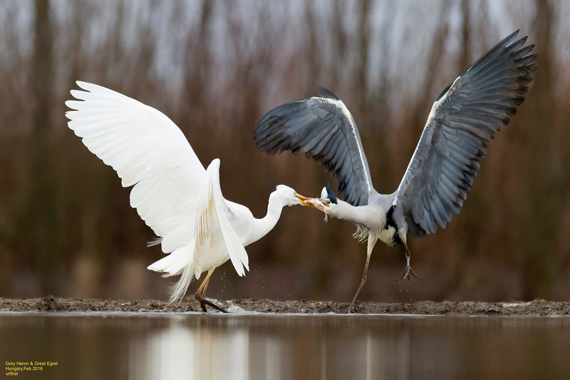 Grey Heron & Great Egret
