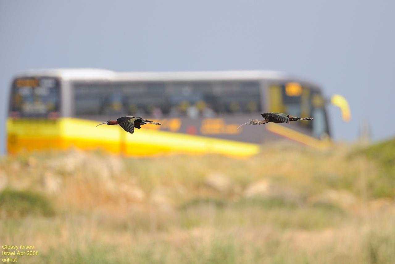 Glossy ibises