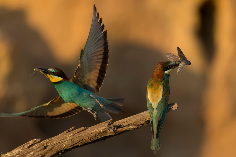 Bee-eaters & Convolvulus Hawk-moth