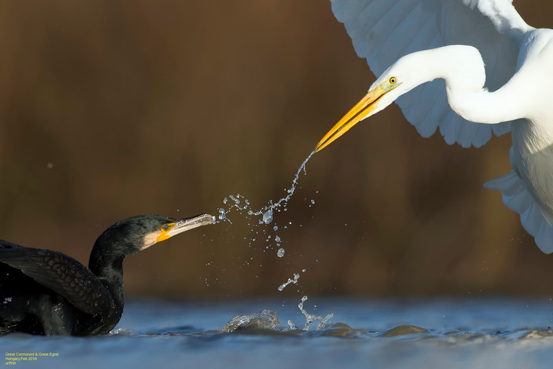 Great Cormorant & Great Egret
