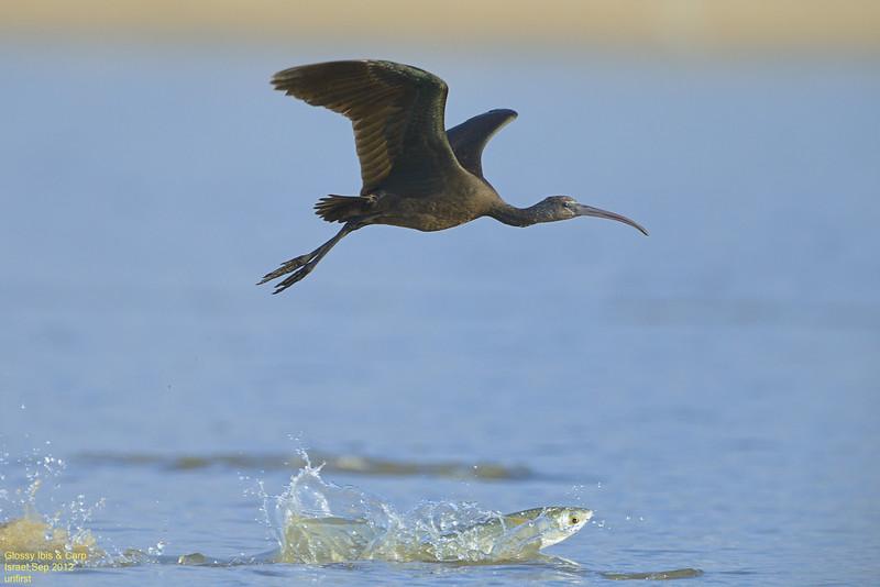 Glossy Ibis & Carp