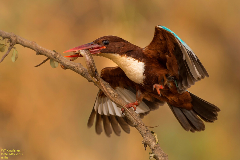 WT Kingfisher