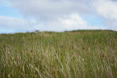 Tall grass growing in the Irish ireland mountains in summer.  Irish wild grass flowers.
