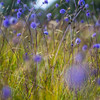 Corn flower flowers in full bloom.  North West Ireland at the end of summer.