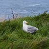 A seagull stands on grass with the ocean in the background.