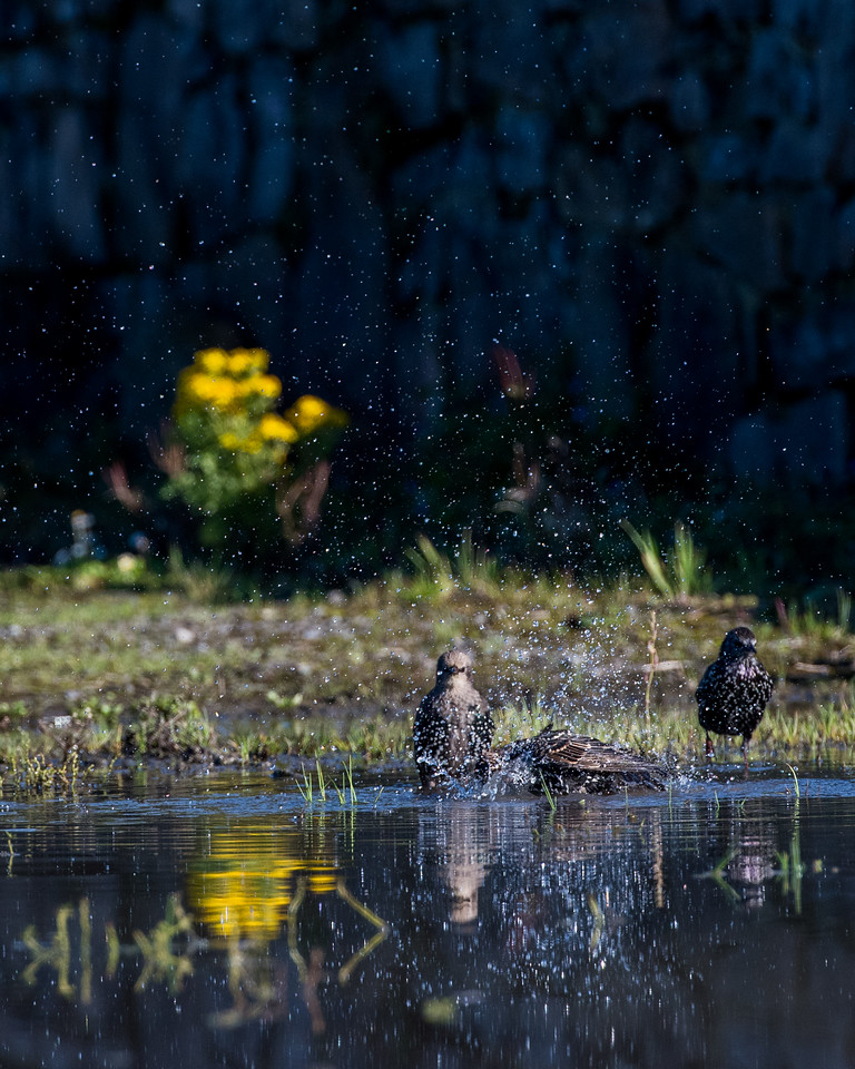 Wild Irish Thrush birds bathe in a puddle down a country lane on a calm autumn day.  Getting ready for flight.