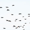 Irish Thrush birds in flight.  A flock flying migrating.