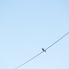 Bird on a wire, Ireland.