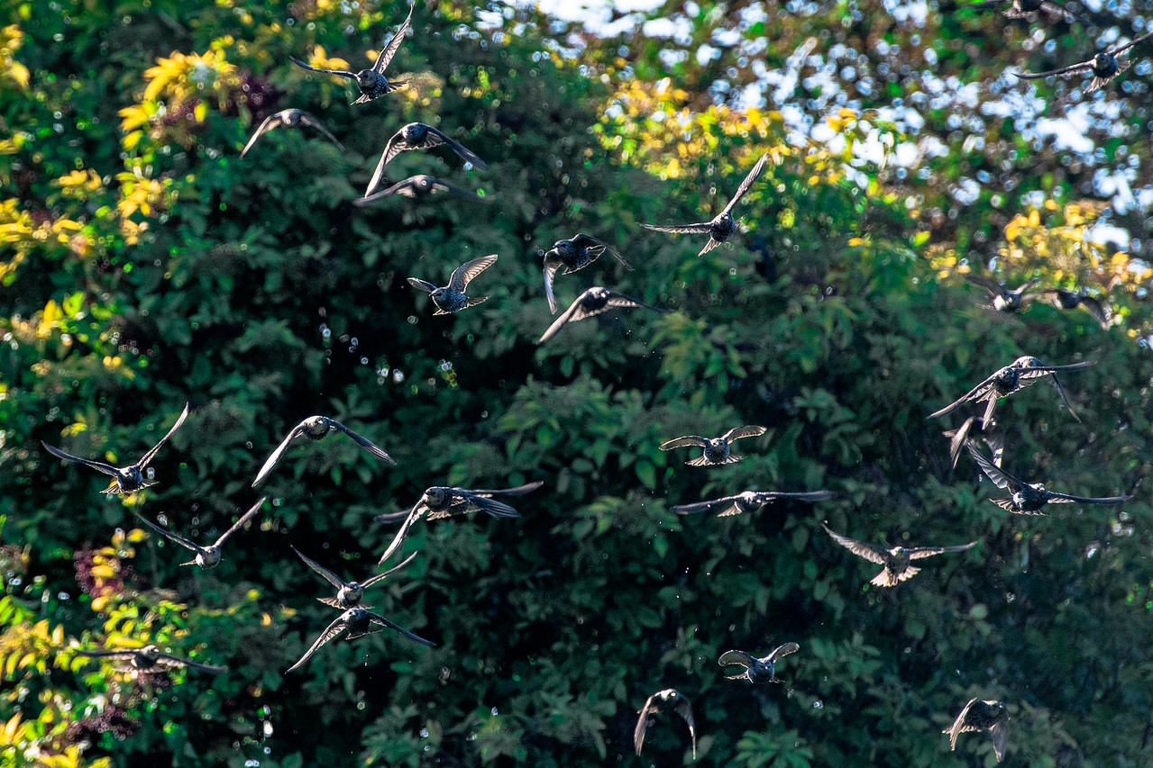 Irish Thrush birds in a flock flying low eating berries on trees in Donegal. Ireland.