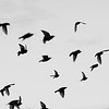 Irish Thrush birds in flight.  A flock flying migrating.  Silhouette.