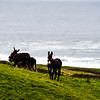 Donkey mules playing on a farm with ocean in background
