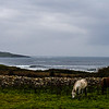 Farm horses graze with Mullaghmore village in background