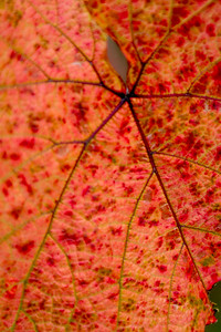 Close Up Red fall leaves glowing on a trees branch