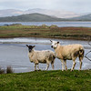 Farm Sheep Graze with lakes, ocean and mountains in the background