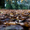 brown leaves lie on the ground with a forest in the background