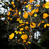 Yellow fall leaves glowing on a trees branch