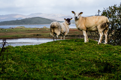 Farm Sheep Graze with lakes, ocean and mountains in the backgroundFarm Sheep Graze with lakes, ocean and mountains in the background