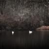 Swans on Mill Pond... Marstons Mills