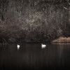 Swans on Mill Pond... Marstons Mills