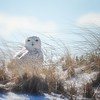 snowy owl smile...West Barnstable