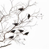 seven blackbirds...village of Barnstable