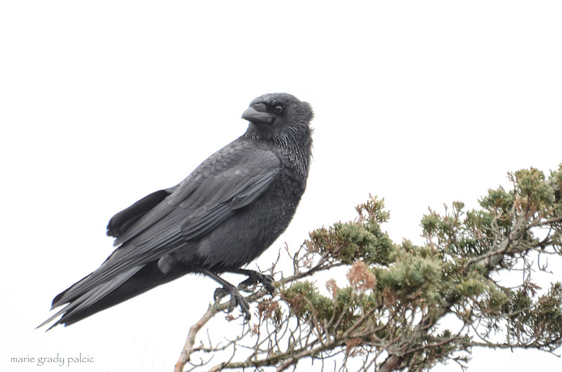 Crow in the wind...Cotuit