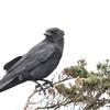 Crow in the wind...Cotuit