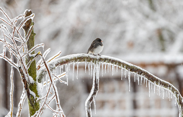Just Another Day For The Junco