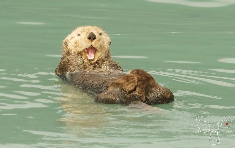 Sea Otter, Seward, AK