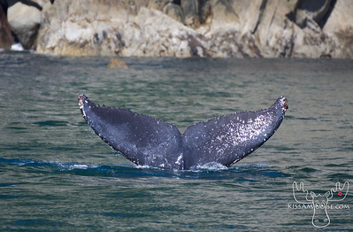 Humpback, Humpback Whale, Kenai Fjords National Park