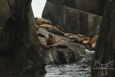 Stellar Sea Lions, Seward, AK