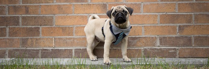 Edinburgh dog photography Pugley wall