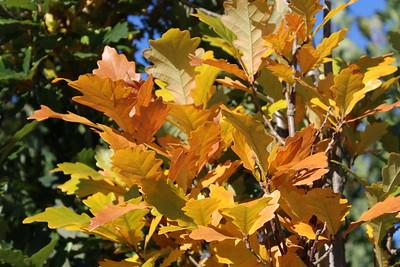 Quercus x warei 'Regal Prince' (Columnar) (2)