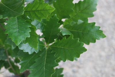 Quercus x warei 'Regal Prince' (columnar)
