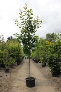 Quercus rubra 1 75 in #25