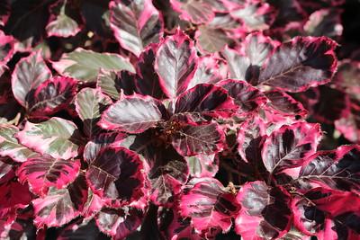 Fagus s  'Roseo-marginata' ('Tricolor')