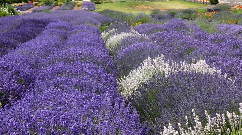 3437-Field of Lavender