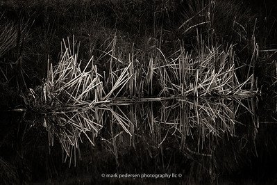 Reeds-reflections