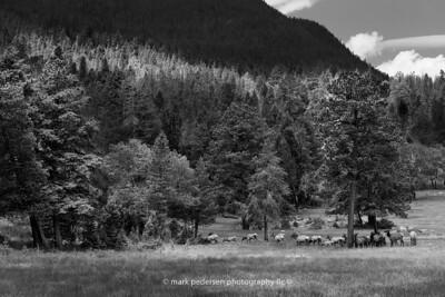 Elk-RMNP-02-BW