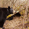 Image of Lily taken October 2010 outside her den. Lily was born in 2007. Ursus americanus (American Black Bear).