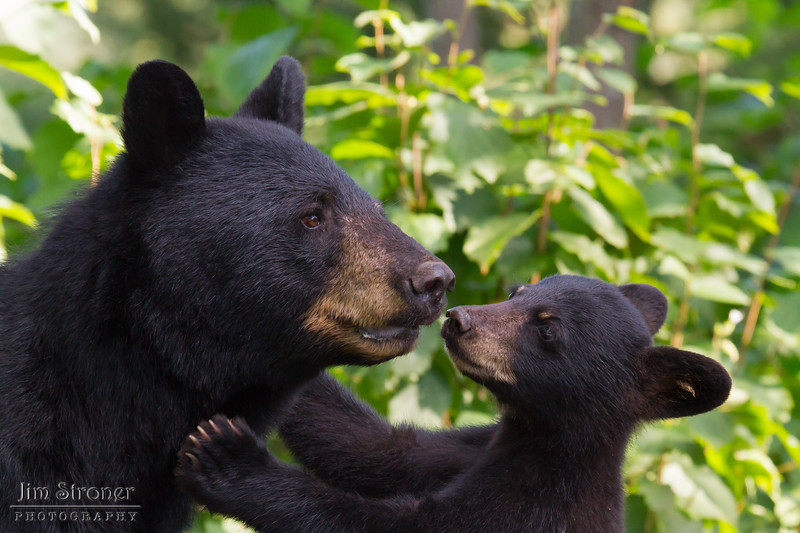 Image of Minnie and cub taken August 2011. I watched Minnie and two cubs for quite some time trying to get a photograph of the entire family when I was rewarded with this shot. Minnie is not a member of the Shadow clan but I've included her here. Ursus americanus (American Black Bear).