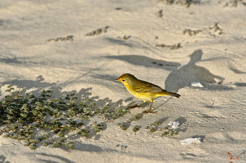 Yellow Warbler casts a shadow