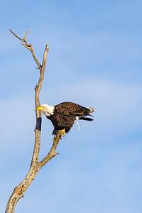 Shady Oak Eagle pooping I guess LOL  # 5