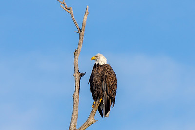 Shady Oak Eagle #4
