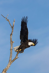 Shady Oak Eagle #11