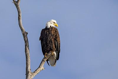 Shady Oak Eagle #1