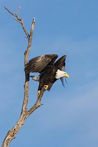 Shady Oak Eagle #10